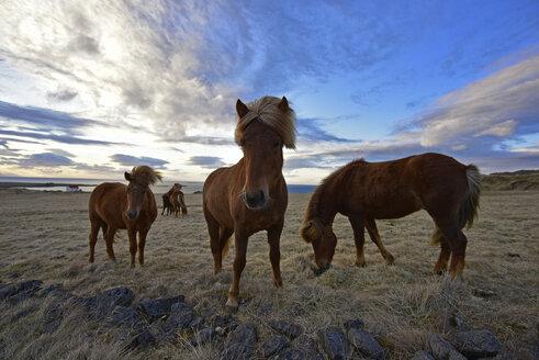 Iceland, Icelandic Horses - FDF00209