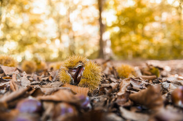 Sweet chestnuts and autumn leaves lying on forest soil - DIGF01414