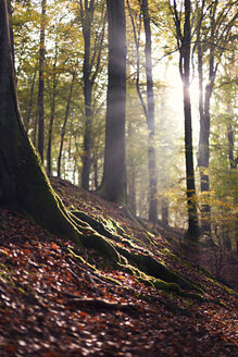 Autumnal beech forest at backlight - ALF00714