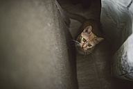 Portrait of tabby cat watching something at home - RAEF01536