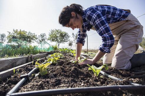 Woman working on farm planting lettuce - ABZF01502