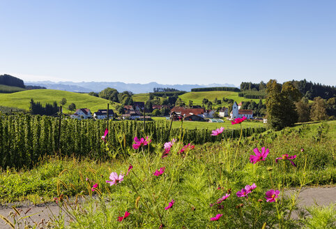 Germany, Baden-Wuerttemberg, Lake Constance district, Cosmea, hop field and landscape near Neukirch - SIEF07136