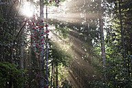 Germany, Baden-Wurttemberg, Sun beams shining through trees in the Black Forest - MIDF00814