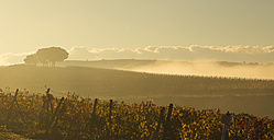 Italy, Tuscany, Val d'Orcia, landscape with vineyard in morning fog - FCF01146