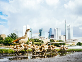 Germany, Frankfurt, goose family in front of skyline - KRPF02039