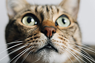 Portrait of tabby cat, close-up - GEMF01277