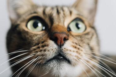 Portrait of tabby cat, close-up - GEMF01277