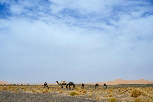 Morocco, Merzouga, camels in the  Erg Chebbi desert - KIJF00995