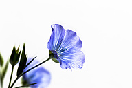 Blue flax flower, Linum usitatissimum, on white - CSF27858