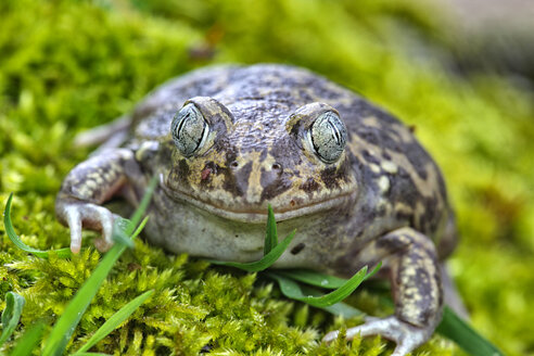 Portrait of Spanish spadefoot toad - DSGF01202
