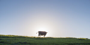Germany, Allgaeu, brown cattle standing on pasture at backlight - WGF01007