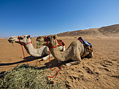Oman, Al Raka, Rimal Al Wahiba desert, two dromedaries having a rest - AMF05124