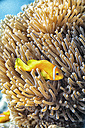 Maldives, Indian Ocean, Maldive anemonefish - DSGF01239