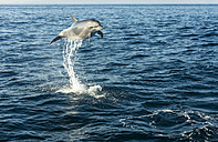 Spain, bottlenose dolphin jumping in the air - KBF00350