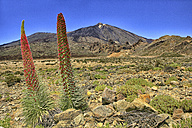 Spain, Tenerife, Echium Wildpretii growing at Teide National Park - DSGF01297