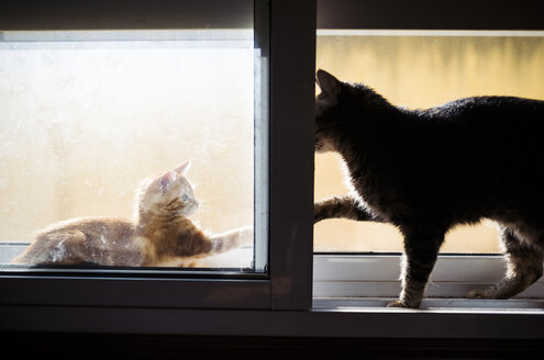 Kitten and adult cat playfighting on window sill - RAEF01600