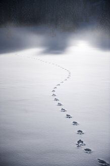 Tracks of wild animal in the snow - HHF05480