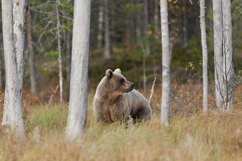 Finland, Kainuu, brown bear - ZC00448