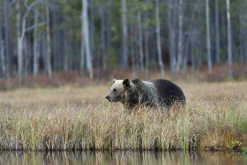 Finland, Kainuu, brown bear - ZC00451