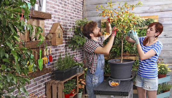 Couple picking kumquats in their urban garden on the terrace - RTBF00581