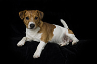 Jack Russel Terrier lying in front of black background - MJOF01327