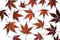 Autumn leaves of Japanese Maple on white ground - TCF05256