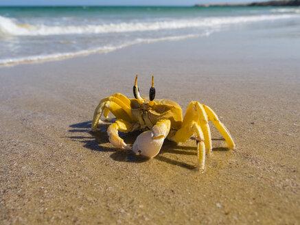 Oman, Ash Shirayjah, Ad Daffah, horned ghost crab on the beach - AMF05149