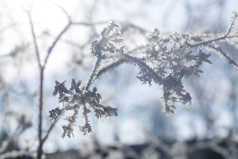Frozen twigs at backlight - SARF03092