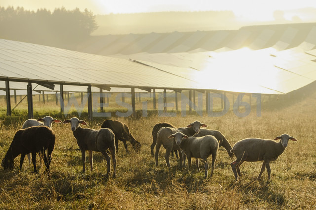 Germany, sheeps grazing on a field with solar panels in the morning light - HAMF00250