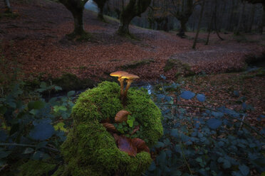 Spain, Basque Country, Gorbea Natural Park, mushrooms growing in beech forest - DSGF01385