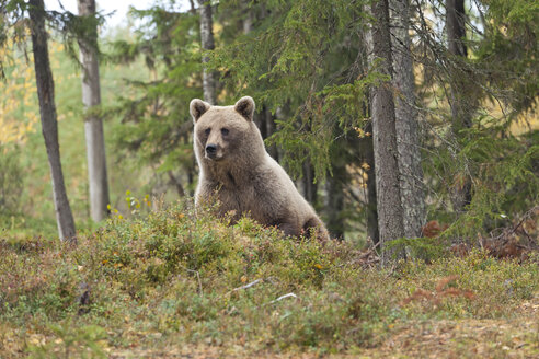 Finland, North Karelia, brown bear in the woods - ZC00459
