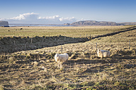 Iceland, two sheeps on pasture - EPF00229