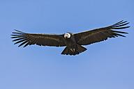 Peru, Andes, Chivay, Colca Canyon, Andean condor flying - FOF08485