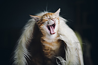 Yawning cat - RAEF01637