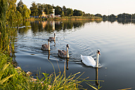 Germany, Usedom, Bansin, mute swans on Schloonsee - SIEF07258