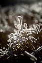 Hoarfrost on grasses - JTF00800