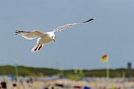 Flying herring gull - MHF00410