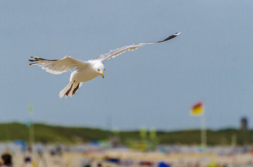 Flying herring gull - MHF00410