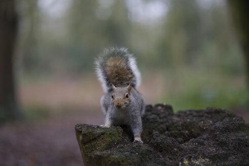 Grey squirrel - MJOF01338