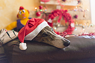 Greyhound wearing Santa hat - SKCF00245