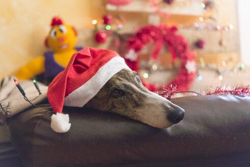 Greyhound wearing Santa hat - SKCF00245