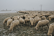 Flock of sheep in winter - DWF00248