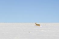 Roe deer running in snowfield - JUNF00781
