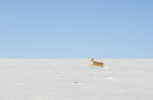 Roe deer running in snowfield - JUNF00781