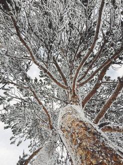 Hoarfrost on trees seen from below - JUBF00190