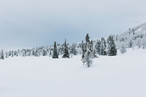 Norway, Oppland, fir tree forest in winter - JUBF00196