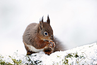 Portrait of eating Eurasian red squirrel in snow - MJOF01340