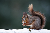 Portrait of eating Eurasian red squirrel in snow - MJOF01343