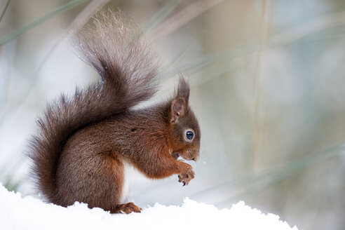 Portrait of eating Eurasian red squirrel in snow - MJOF01346