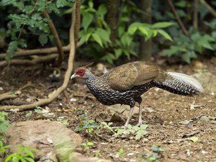 Thailand, Kaeng Krachan, female Kalij pheasant - ZC00474